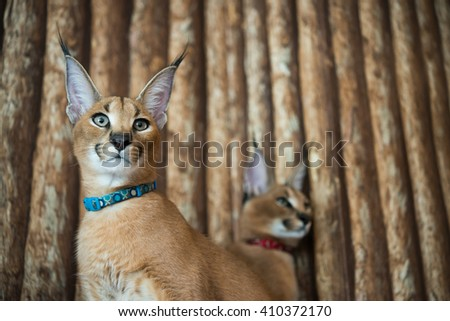 Selective focus of caracal cat with wooden background - stock photo