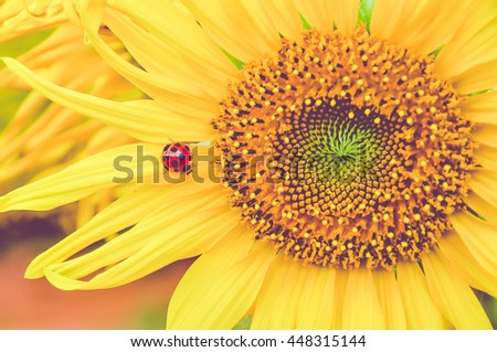 Selective focus of ladybug on sunflower. close up of sunflower background. warm filter. Filtered effect. - stock photo