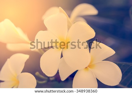selective focus of  plumeria flowers  with sun light effect, vintage toning color - stock photo