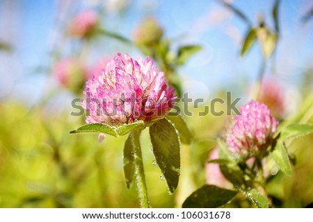 Selective focus on a blooming Red Clover Wildflower. - stock photo