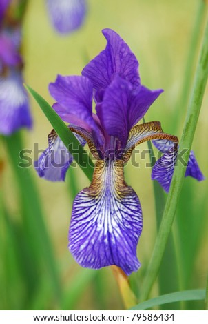 Selective focus on a blue iris flower, with yellow markings, and blurred  background - stock photo