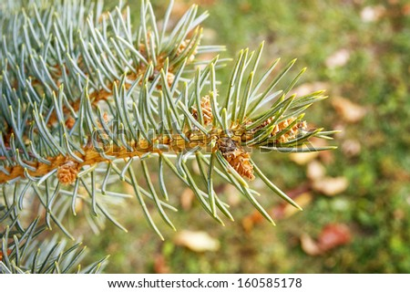 Selective focus on a pine tree branch./Pine Tree Branch - stock photo