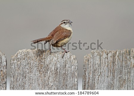 Selective focus on Carolina Wren (Thryothorus ludovicianus) perched on weathered old wooden fence with soft background and copy space. - stock photo