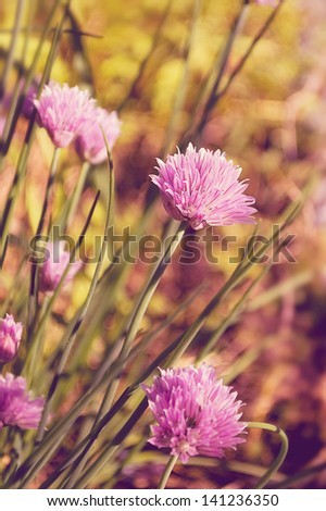 Selective focus on chive blossoms. - stock photo