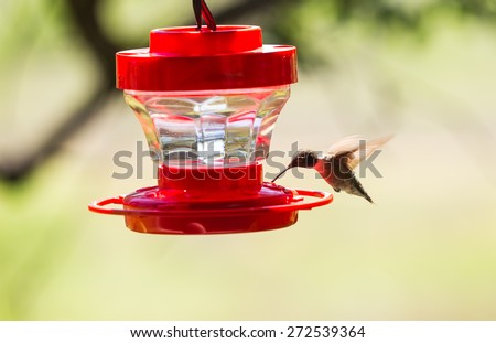 Selective focus on Male Ruby Throated Hummingbird (Archilochus colubris) feeding from red plastic nectar container with soft background. - stock photo