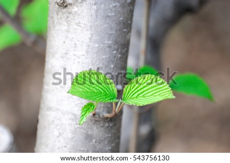 selective focus on new growing leaves on tree trunk in spring