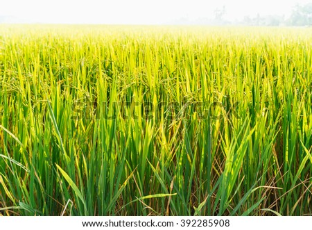 Selective focus on rice growing. A lush, green and fertile background - stock photo