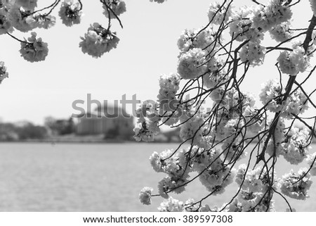 Selective focus was used on these cherry tree blossoms on the tidal basin in Washington, DC with the Jefferson Memorial off in the distance.  This image is nostalgic in appearance in black and white. - stock photo