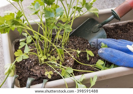 Selective focus was used on these herbs (parsley) being planted in a garden window box.  Tools being used include a garden trowel, claw and gardening gloves.