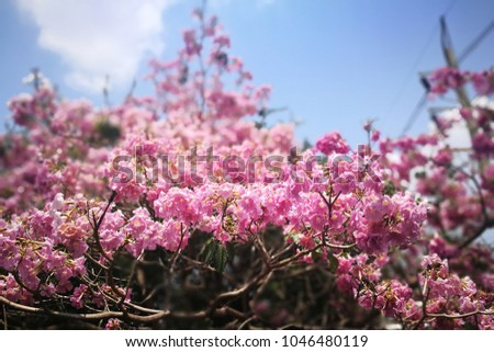 Selective focusing frilly pink tabebuia tree stock photo 100 legal selective focusing of frilly pink tabebuia tree in full bloom bell shaped trumpet flowers mightylinksfo