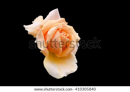 Selective fosucing of an Isolated orange rose on black background - stock photo