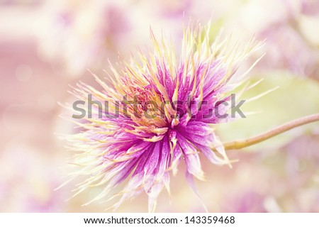 Selective on a purple clematis flower after its petals have fallen off. - stock photo