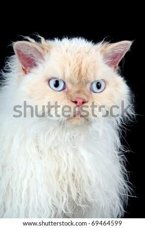 Selkirk Rex cat - stock photo