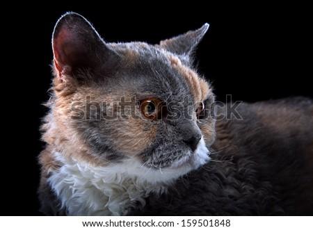 Selkirk Rex cat is looking. - stock photo