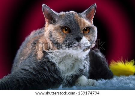 Selkirk Rex cat plays - stock photo