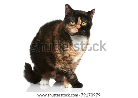 Selkirk Rex. Tortoise color cat on a white background