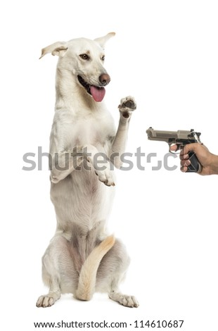 Semi-automatic pistol pointed at Crossbreed dog standing on hind legs against white background