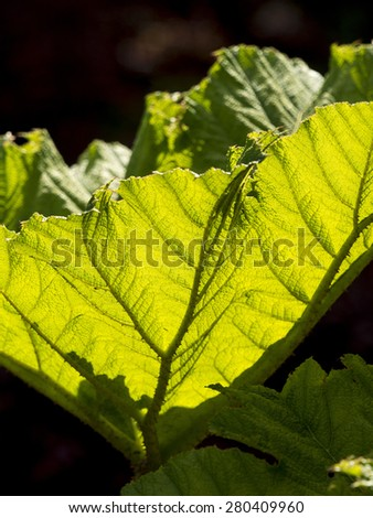 semi transparent green leaves in a garden,Derbyshire,UK.