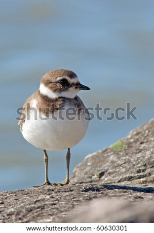 Semipalmated Plover, vertical shot with ample room for type - stock photo