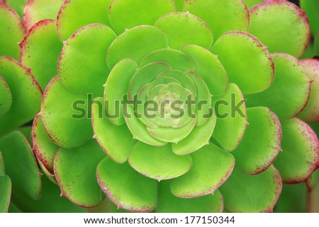 Sempervivum /Crassulaceae family / Houseleek/ Hen and chicks decorative plant, full frame