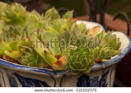 Sempervivum or Hens and Chicks plant. - stock photo