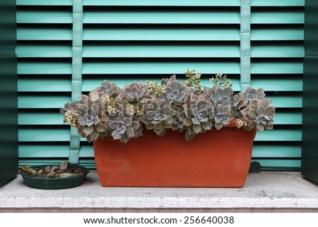 Sempervivum or houseleek flowers on a background of turquoise shutters - stock photo