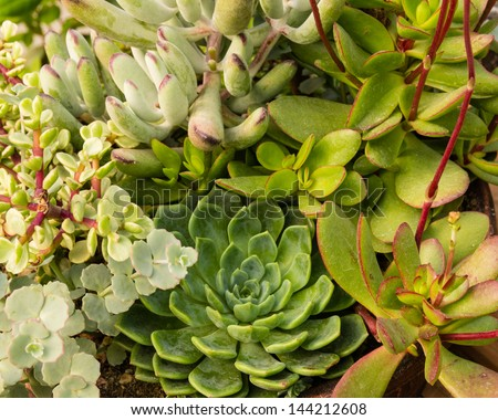 Sempervivum or sedum plants for use with sustainable construction roof - stock photo