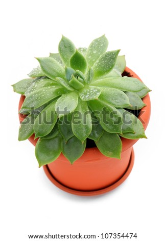 Sempervivum plant in a pot over white background - stock photo