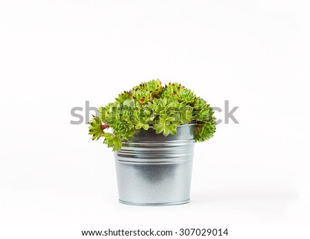 sempervivum succulent plant in metal pot on white background with shadow - stock photo