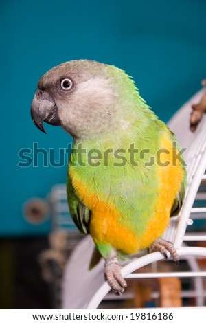 Senegal Parrot sitting on cage - stock photo