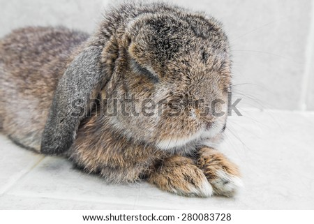 Senior brown rabbit relaxing, shallow depth of field focus on head - stock photo