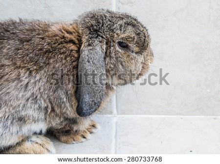 Senior brown rabbit sitting. half body head focus - stock photo
