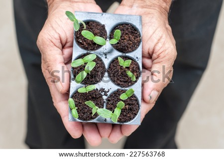 senior citizen hands holding green small plant. new life concept. seed germination. In safe hands of a grandfather. farmer hand holding small plants. Organic farming. Go green concept. - stock photo