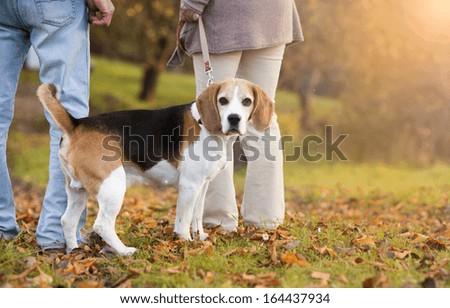 Senior couple walking their beagle dog in autumn countryside - stock photo