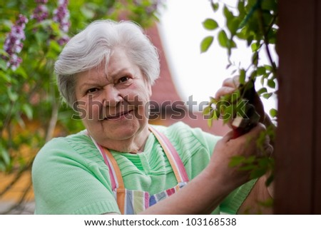 Senior cut roses - stock photo