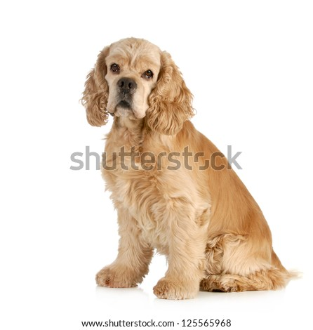 senior dog - american cocker spaniel sitting isolated on white background - stock photo