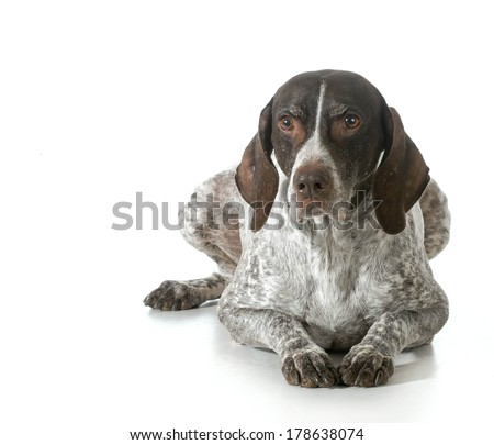 senior dog - german shorthaired pointer isolated on white background - stock photo