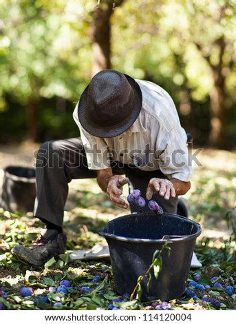 Senior farmer harvesting plums in an orchard - stock photo