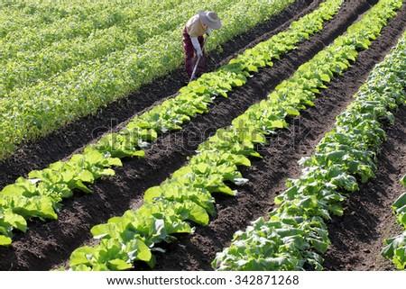Senior farmer hoeing vegetable garden - stock photo