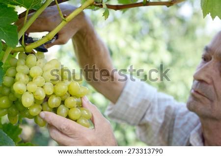 Senior farmer with bunch of grapes at vineyard - stock photo