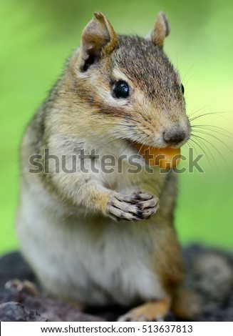 Senior female chipmunk with a piece of fresh sweet cantaloupe in her mouth