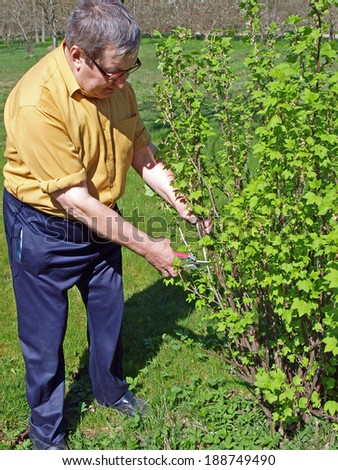 Senior gardener pruning black currant bush on spring - stock photo