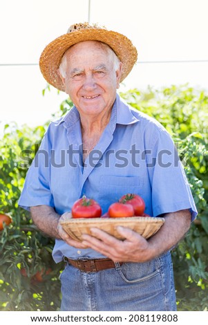 Senior gardener with a basket of harvested tomatoes in the garden