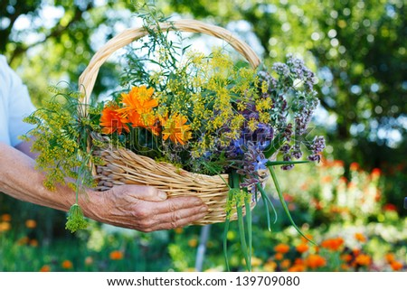 Senior hands holding a basket of fresh herbs - stock photo