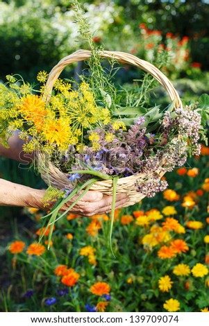 Senior hands holding a basket of harvested fresh herbs - stock photo