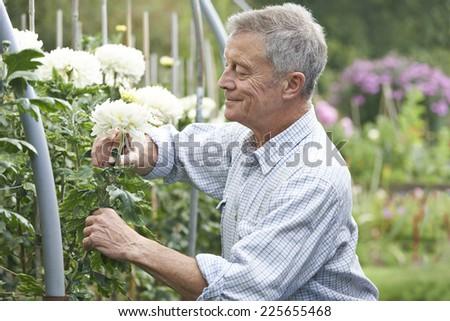 Senior Man Cultivating Flowers In Garden - stock photo