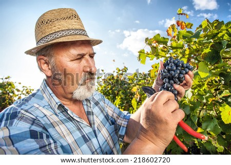 Senior Man Harvesting Grapes in the Vineyard - stock photo