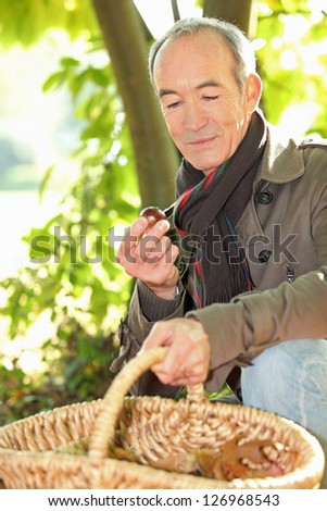 Senior man picking chestnuts