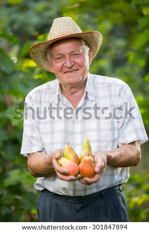 Senior man picking pears in an orchard