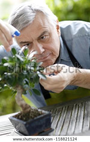 Senior man watering bonsai leaves - stock photo